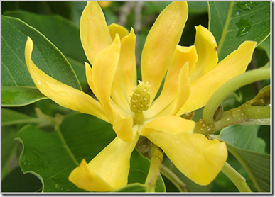 Michelia champaca