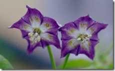 Capsicum praetermissum flowers