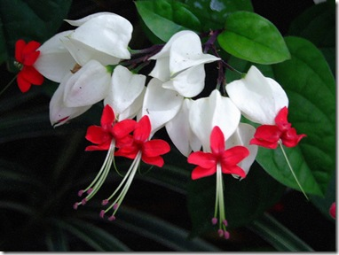 Clerodendrum thomsoniae1