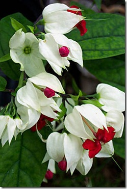 Clerodendrum thomsoniae
