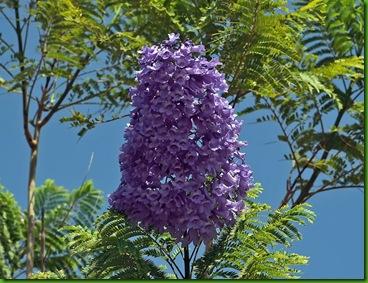 Jacaranda mimosifolia1