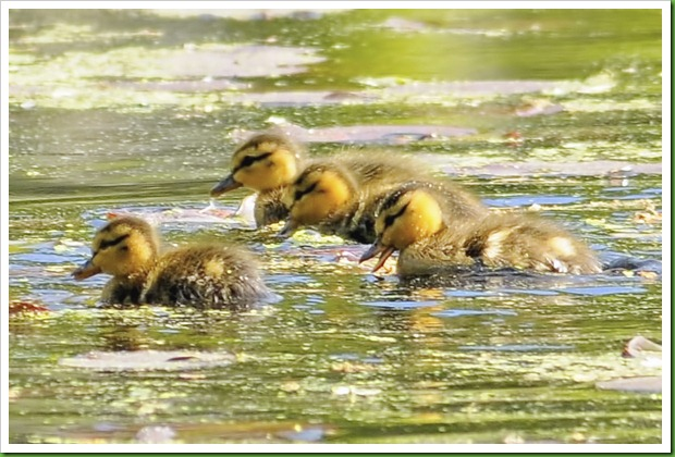 baby ducklings mothers day
