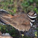 Killdeer and nest.