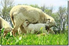 Lambs 2010 (26)