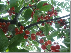 Sour cherry tree branch