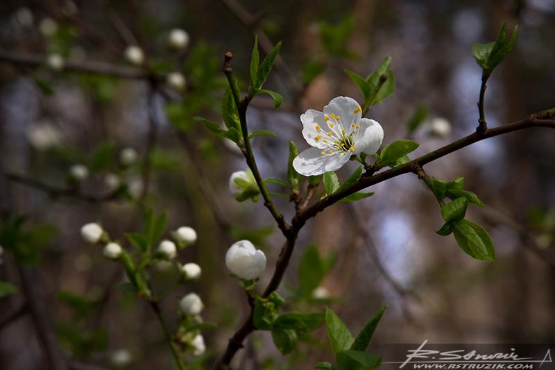 Rogoźnik. Kwiecień 2010. Wiosna zaspała i potem już niebardzo mogła się zdecydować.