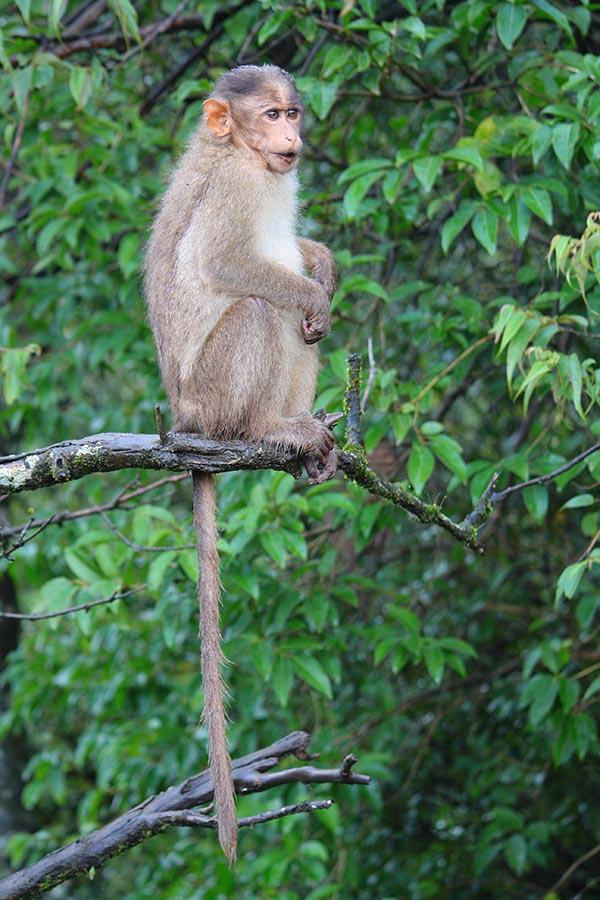 Macaque Monkey of Thoseghar Waterfall