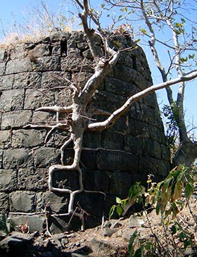 Nature's Brickwork at Tikona Fort — A Fig Tree on a Bastion