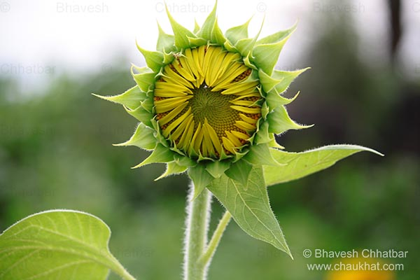 Be happy and smiling like a sunflower