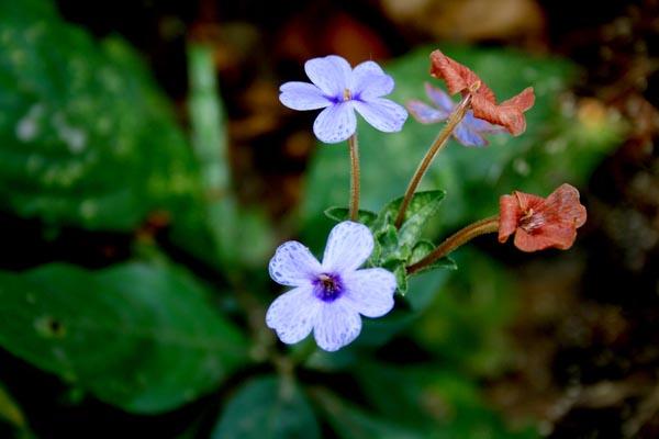 Rosy Eranthemum