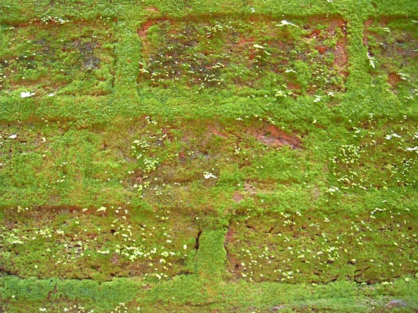 Beautiful green algae on the fillings of the brickwork. This photograph was taken in the early monsoon of 2006 in the Parshuram temple in Konkan.