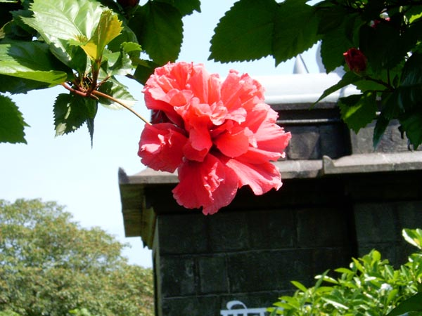 Pentabloom hibiscus in Kade Varcha Ganpati Temple premises