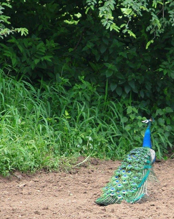 Peacock [Mor, मोर] at Morachi Chincholi