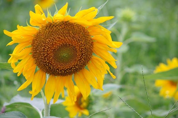 Matured Sunflower