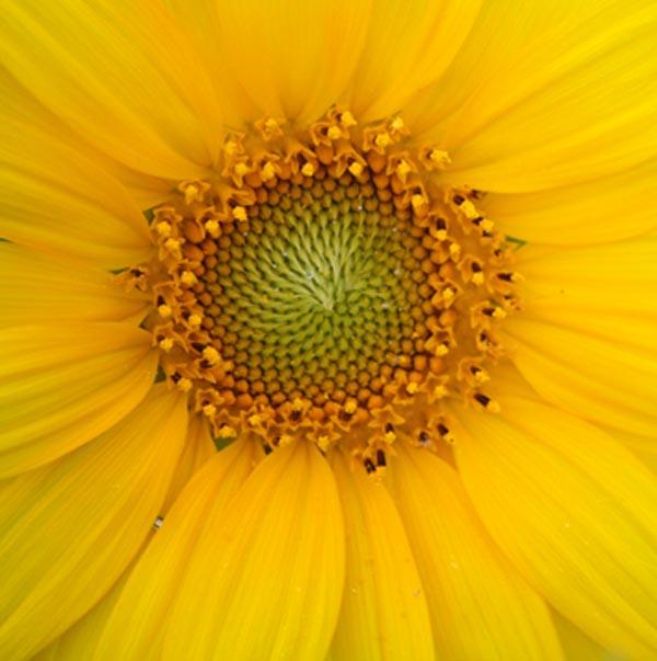 Full Sunflower