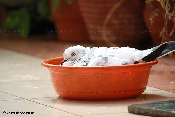 Masakkali in her bathtub