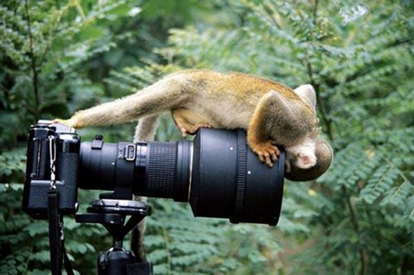 Squirrel monkey looking into camera lens