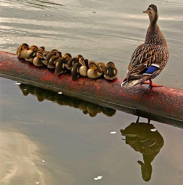 12 chicks and a goose mother
