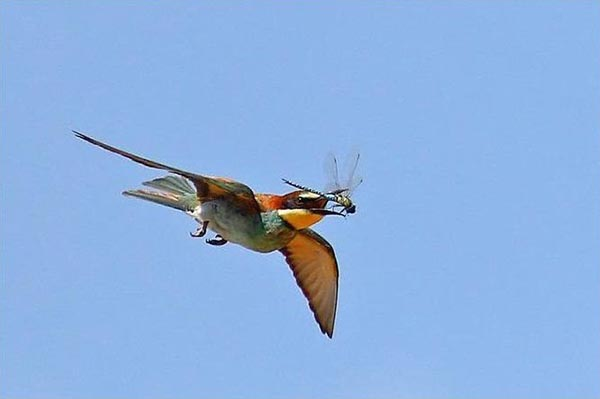 Bee eater bird catching dragonfly