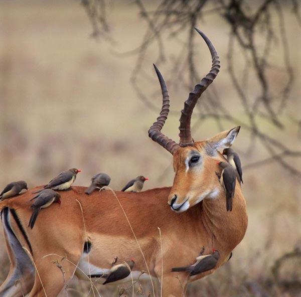 Deer with 9 beautician birds