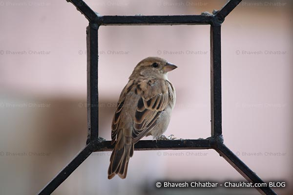 Female sparrow on a window grill