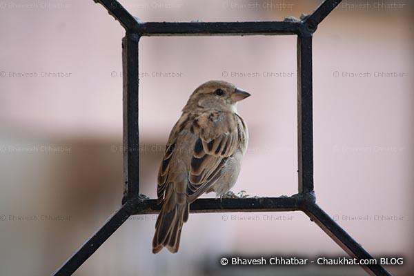 Female sparrow on a window grill