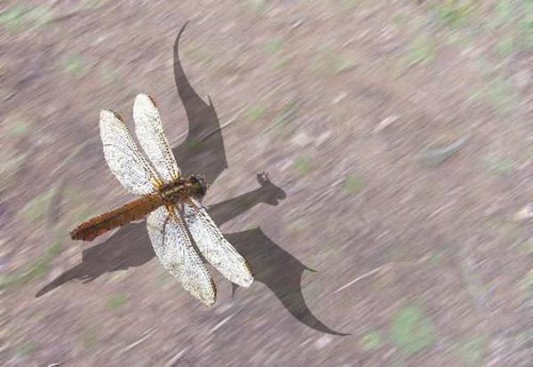 Dragonfly with shadow of dragon