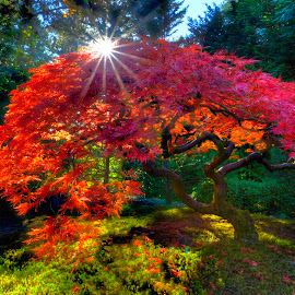 Portland Japanese Garden Maple by Chris Bartell - Nature Up Close Trees & Bushes ( red, tree, grass, green, forest, light, garden, sun, maple,  )