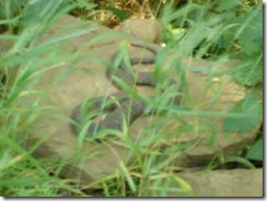 snake sunning himself on rock--no sun