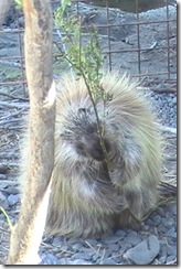 10 porcupine, Alaska Wildlife Conservation Center
