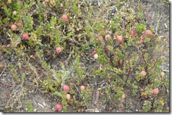 20100727-171 cranberries