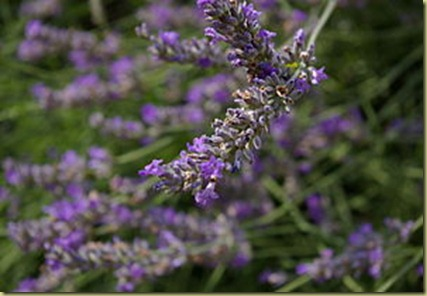 Lavender in flower box