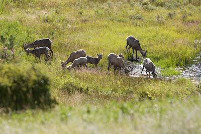 Bighorn ewes at Sheep Lakes