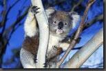 koala_u_yvdr_1115246-302_150x100