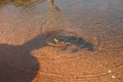 Turtle in Sheldon Lagoon Cape York