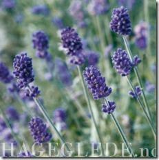 Lavendel_full_plant