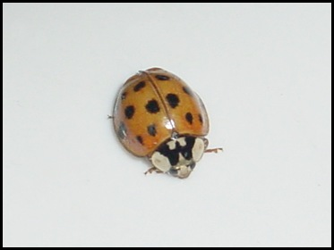 Another Ladybug!