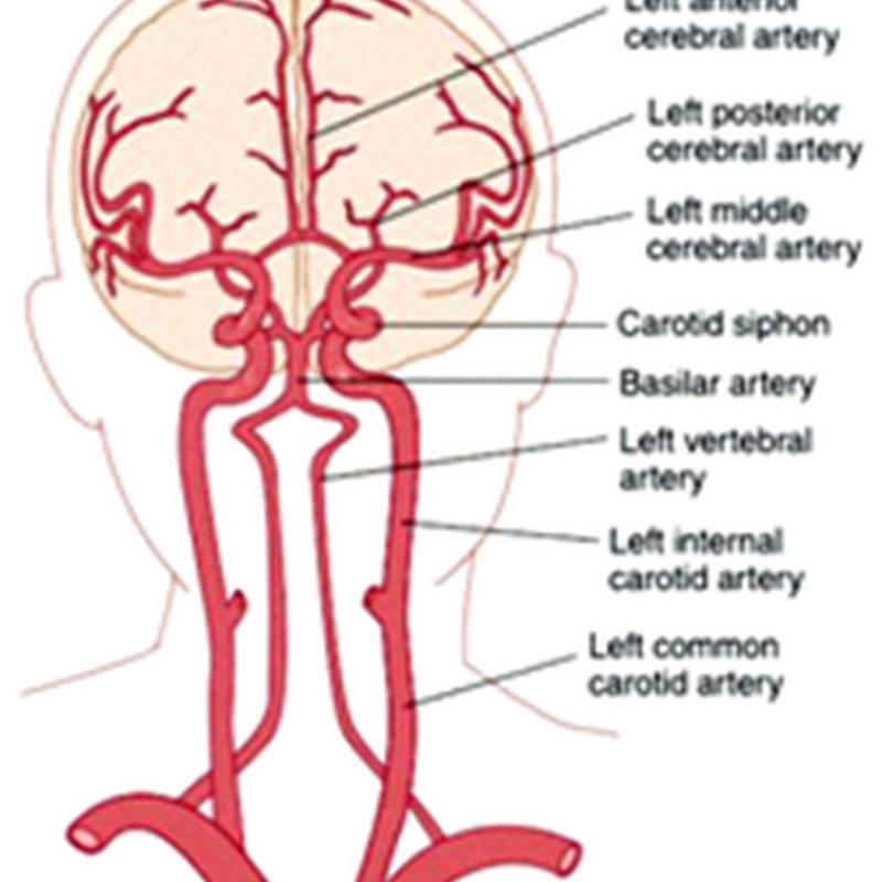 The cerebrum II