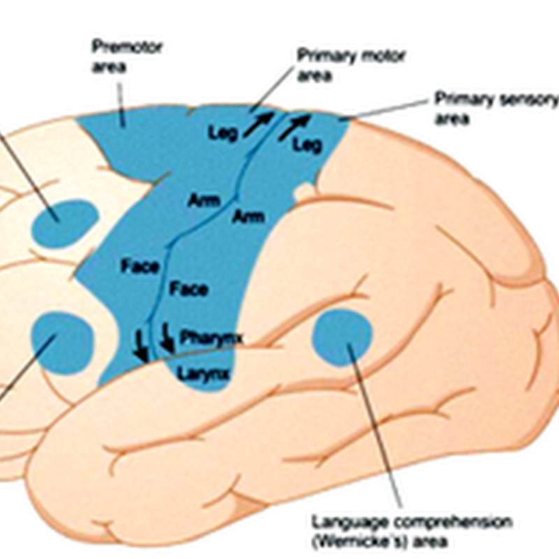 The structure and functional localization of the cerebral cortex II