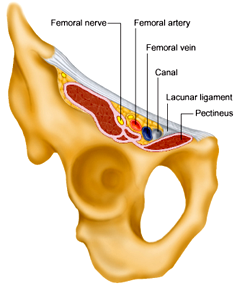 Femoral canal.