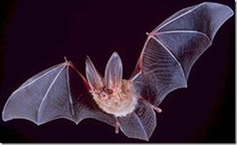 240px-Big-eared-townsend-fledermaus