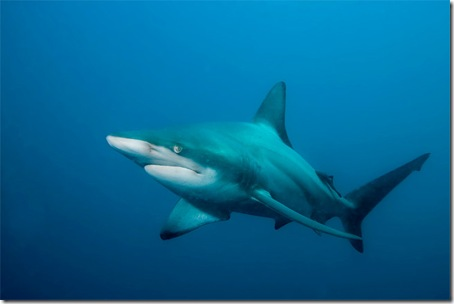 081009-blacktip-shark-02