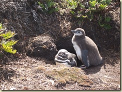 Baby Burrowing Penguins_Falkland