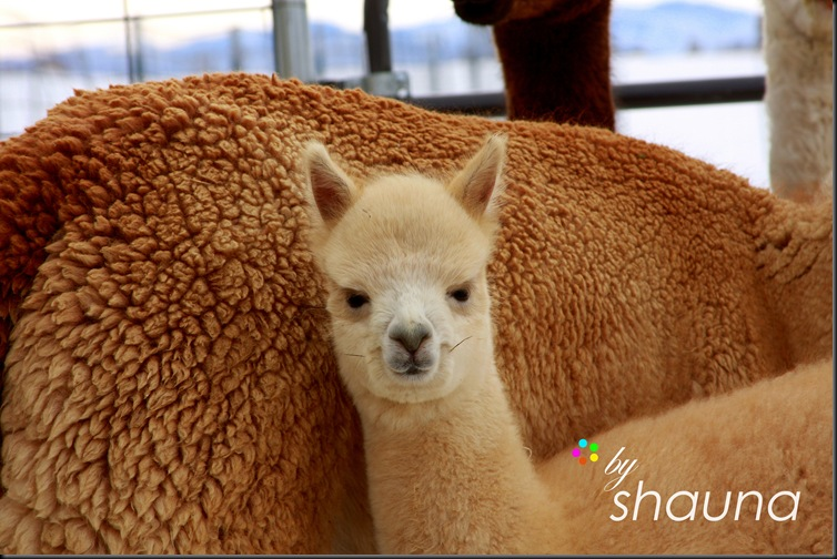 alpacas 1-1-09 196 wm