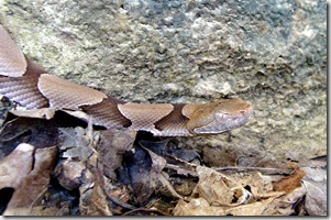 Copperhead head cropped