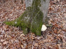 Bearded Tooth mushroom on tree base