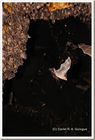 Flying Foxes, Monfort Bat Caves, Samal Island