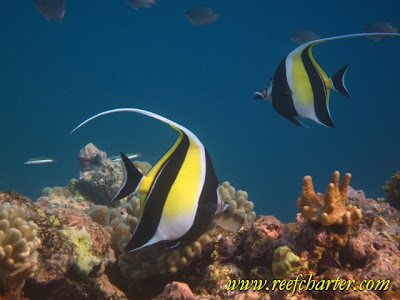 Moorish Idol - Fish on the Reef