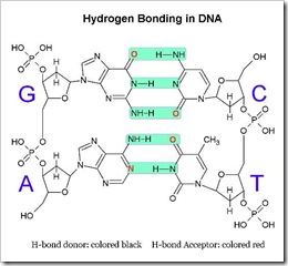 H-bond in DNA