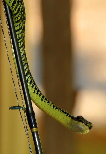 Портрет змеи неизвестной модели на спиннинге у крыльца